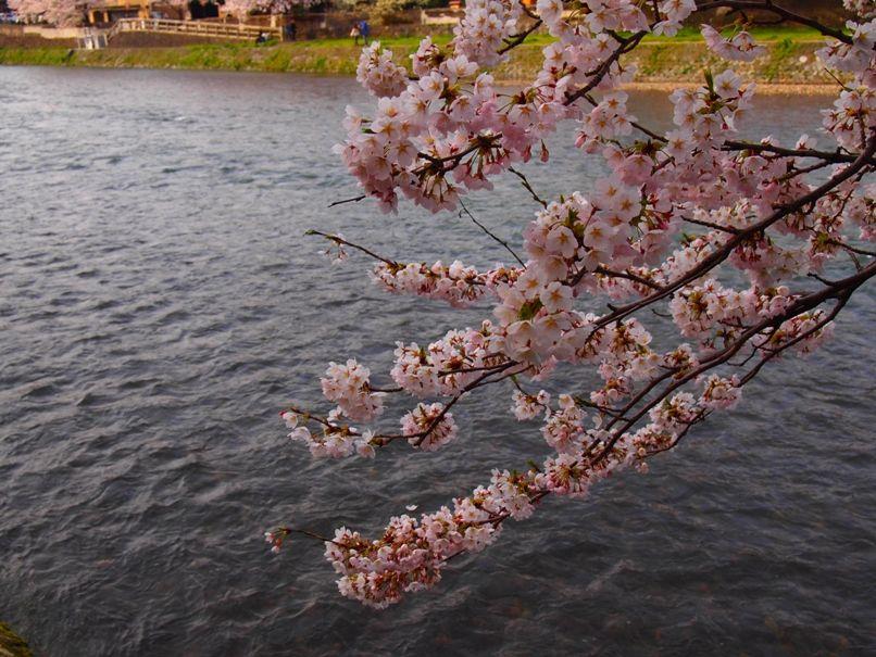 金沢の桜は団子が美味しくなる(浅野川沿い)2