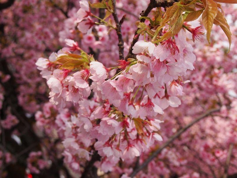 金沢の桜は団子が美味しくなる(桜アップ)