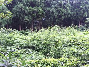 楮の木(二俣和紙の斉藤博さんの工房見学)