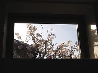 キャプテンちの桜