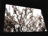 お花見第1弾 キャプテン達の家の桜編