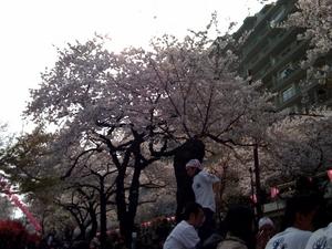 播磨坂の桜2