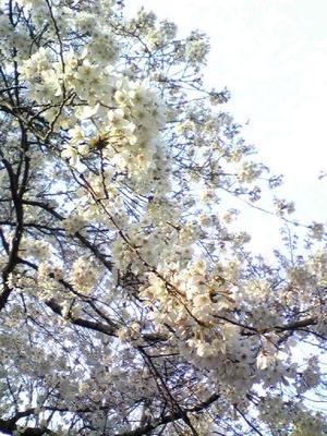 桜の代々木公園2