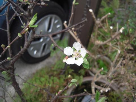 31ユスラウメ開花
