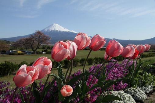 富士山 チューリップ