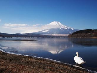 富士に白鳥