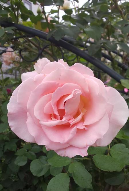 rose20200627