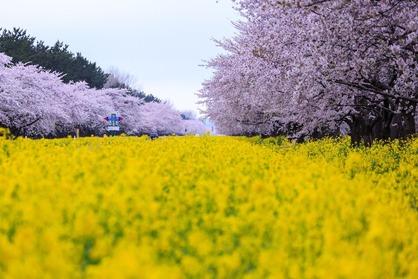 桜と菜の花の境界線