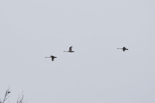 ハクチョウ3羽飛ぶDSC_0221cut