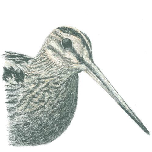 色鉛筆オオジシギ