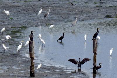 サギの群れ_170901_東京港野鳥公園_古沢撮影_IMG_0006_trim