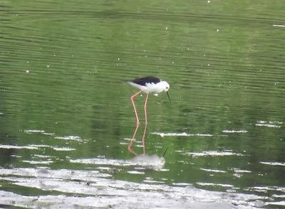 セイタカシギー180920-潮入りの池
