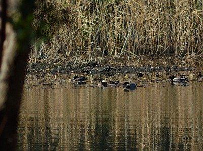 オシドリー190118-西淡水池ー長縄2