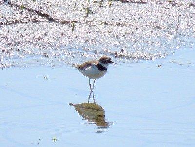コチドリー190530-東淡水池