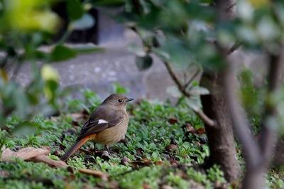ジョウビタキ_171227_東京港野鳥公園_恩田撮影_MG_8646_trim