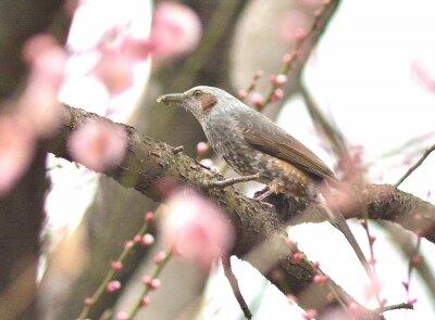 ヒヨドリー200214-自然生態園 (1)