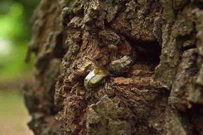 樹液に集まるコウチュウたちー自然生態ー190628