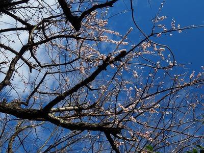 ウメ_20200228_東京港野鳥公園