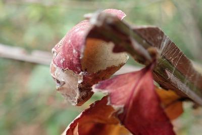 20171224ジョロウグモ卵のう
