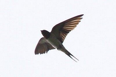 ツバメ_飛翔_200810_東京港野鳥公園_レンジャー撮影