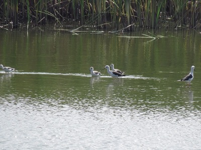 セイタカシギー180727-東淡水池 (22)