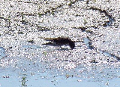 イワツバメー190530-東淡水池