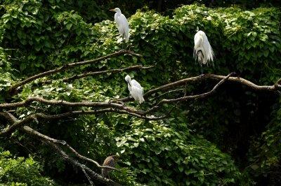 ゴイサギ_20200726_東京港野鳥公園_レンジャー撮影