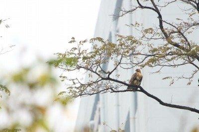 ノスリ_181109_東京港野鳥公園_恩田撮影_MG_0959_trim