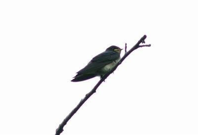 ツバメー180613-自然生態園ー幼鳥ー長縄 (2)