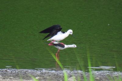 セイタカシギー170607-東淡水池ー交尾 (1)