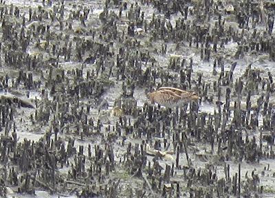 タシギー180920-潮入りの池
