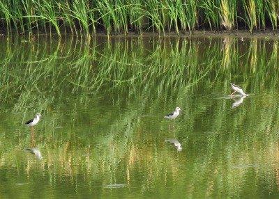 セイタカシギー190829-東淡水池
