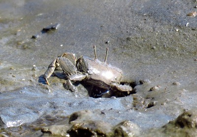 ヤマトオサガニー180331-潮入りの池