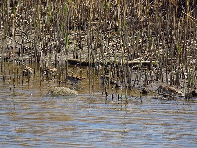 タシギー190324-東淡水池