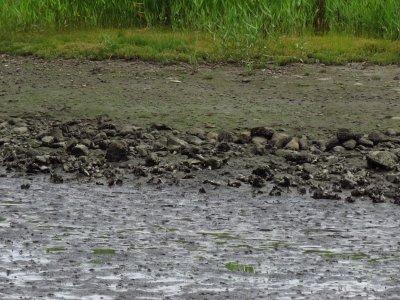 コチドリー190628-潮入りの池 (2)