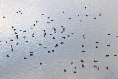 カモの群れ_181028_東京港野鳥公園_恩田撮影_MG_0864_trim