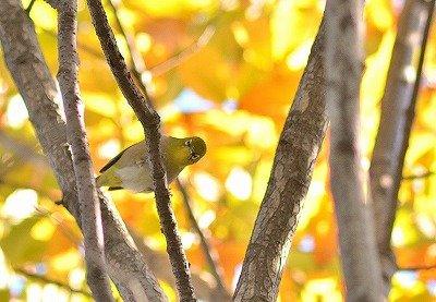 メジロー181123-自然生態園 (1)