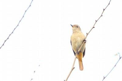 ジョウビタキ_181111_東京港野鳥公園_恩田撮影_MG_1007_trim
