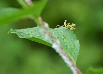 カマキリの幼虫ー180610-入口スロープ