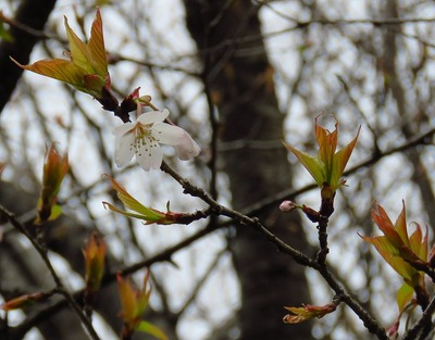 20190321_東京港野鳥公園オオシマザクラ(森撮影)trim