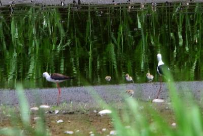 セイタカシギ_170702_東京港野鳥公園_恩田撮影_MG_5089_trim