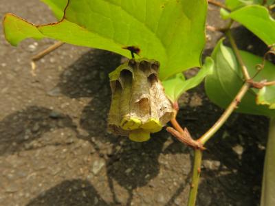葉の裏にハチの巣