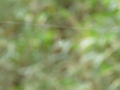 人の網に網張るクモ