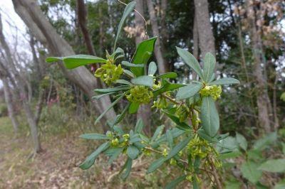 s-オニシバリ雄花20150121新春最も早く咲く雑木林の花