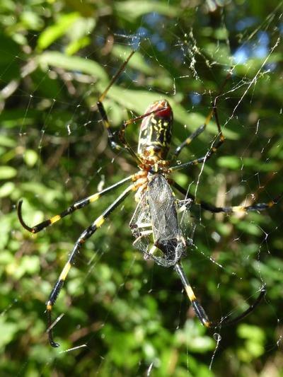 ジョロウグモ捕食キバラヘリカメムシ20170929