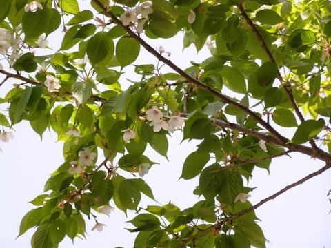s-ヤマザクラ花から未熟実20160415モンキチョウの広場yk (3)