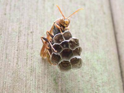 ヤマトアシナガバチ19060101R