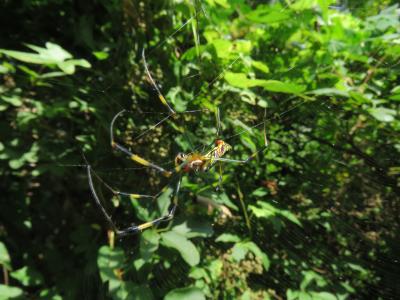 巣を張るジョロウグモ