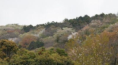s-モンキチョウの広場から見た桜