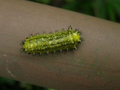 ヒロヘリアオイラガ幼虫20150821生態園 (2)